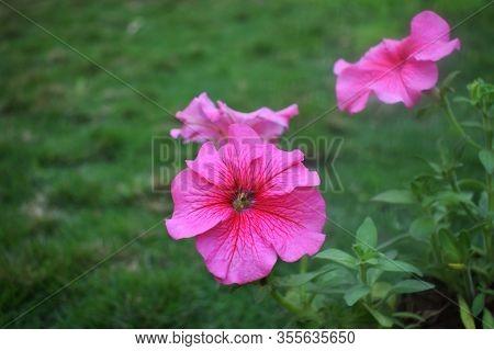 Closeup Of Fresh Baby Pink Petunia Flower, Blooming Celebrity Petunia, Mirage Petunia, Plain Pink Co