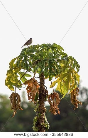 A Mountain Papaya Tree With An Andean Sparrow On Top, Captured At The Highlands Of The Central Andes