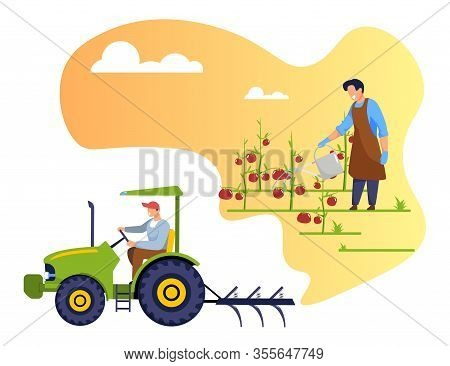 Man Farmer Work On Garden Bed Watering Ripe Tomatoes. Gardener, Worker Driving Tractor, Caring For G