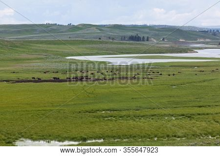 A Large Herd Of Bison Resting In The Lush Green Grasslands Of Hayden Valley Which Is A Receding Lake