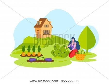 Woman Picking Fresh Vegetables Harvest Basket. Eggplant Carrots And Peas In Vegetable Garden. Grow O