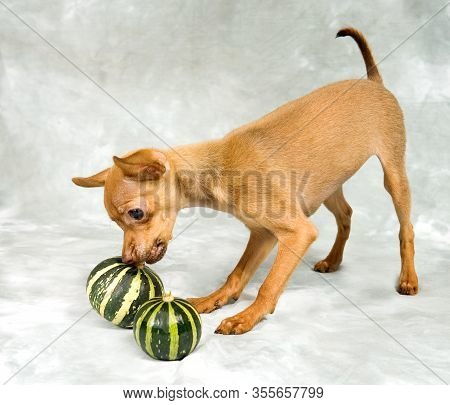Russian Toy Terrier Puppy Playing With Pumpkin