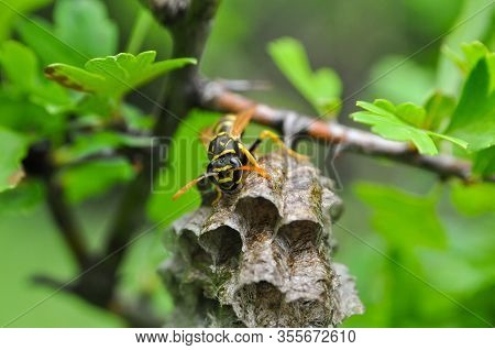 Wasp At A Wasp Nest. European Wasp. Common Wasp, Vespula Vulgaris