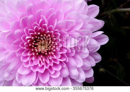 Pink Chrysanthemum Flower On Dark Background Top View. Autumn Plant Close-up
