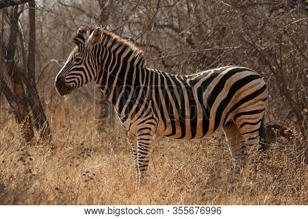The Chapman's Zebra (equus Quagga Chapmani) Is Standing In The Yellow Dry Grass With Bush In Backgro