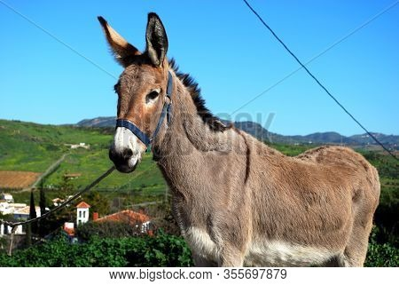View Of A Tethered Donkey In The Countryside Near Alora, Near Alora, Malaga Province, Andalucia, Spa