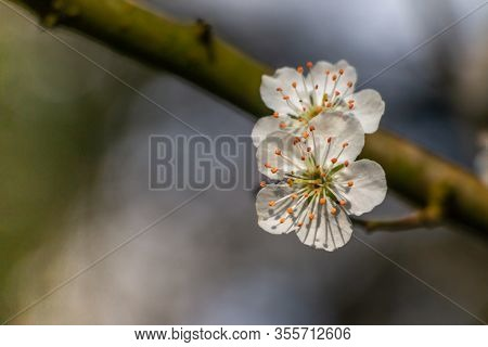 Beautiful White Flowers Of The Blackthorn Also Called The Prunus Spinosa, Blooming At The End Of Win