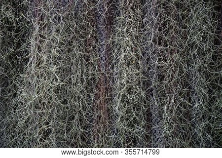 Natural Curtain Formed By Green Spanish Moss.