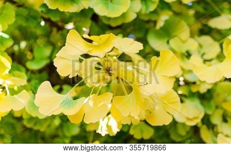 Gingko Biloba Mariken In The Botany In Autumn. Close Up Of Beautiful Yellow And Green Leaves.