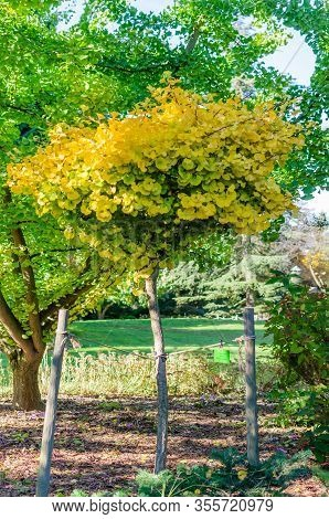 Gingko Biloba Mariken In The Botany In Autumn. Small Tree With Yellow Leaves.