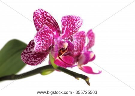 Phalaenopsis Spotty Pink Close-up, Copy Space, White Background.