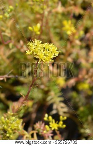 Rock Stonecrop - Latin Name - Sedum Rupestre (sedum Reflexum)