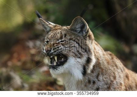 The Detail Of The Head Of Eurasian Lynx Or Carpathian Lynx (lynx Lynx) With Open Jaws Or Mouth After