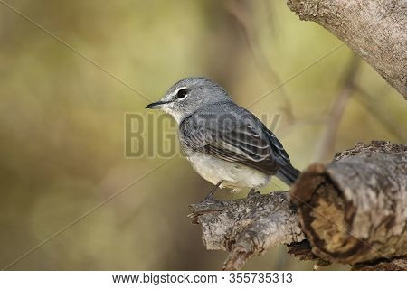 African Dusky Flycatcher (muscicapa Adusta)  Is Sitting On The Branch With Green Background
