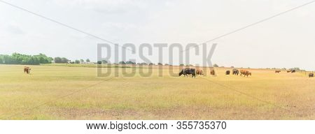 Panoramic Pasture Raised Cows Grazing Grass On Ranch With Wire Fence In Waxahachie, Texas, Usa