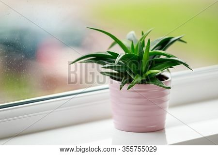 Aloe Green Leaves, Succulent House Plant On Window Sill