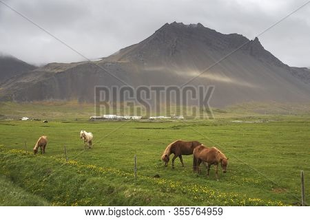 Image Of Beautiful Horses Eating On Field In Iceland.