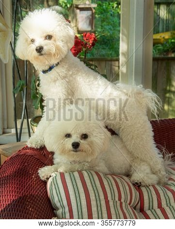 Two Bichon Frise Dogs Posed With One Standing Over The Other, Both Looking At Camera;  Portrait