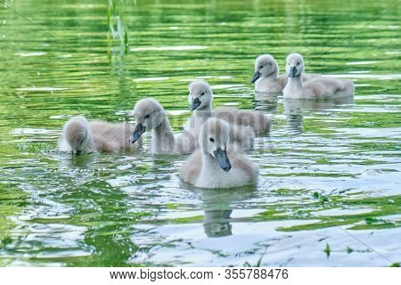 Baby Swans Swim Close Together On A Pond - Close Up.