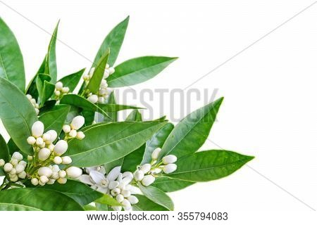 Orange Flowers And Buds And Green Leaves Corner Isolated On White. Neroli Blossom.