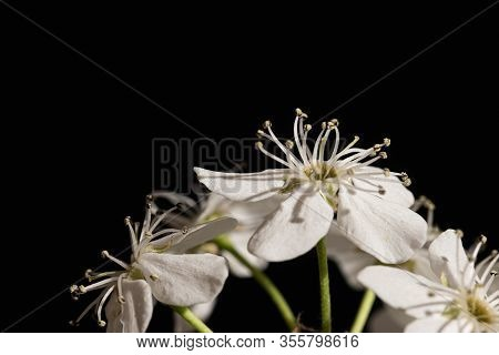 Flowering Pear Pyrus Callaryana Blooming White In Spring