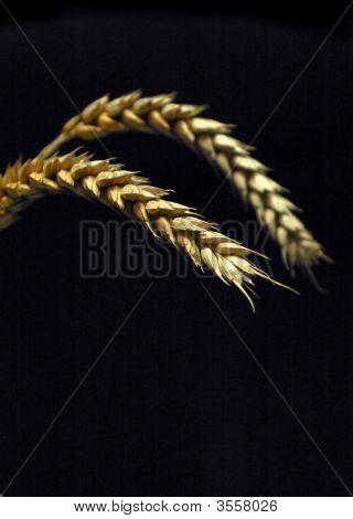 Golden Wheat On Black