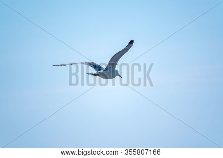 Sea Gull In The Clear Blue Sky. The Great Black-backed Gull Flying In Blue Clear Sky Background,