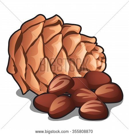 Cedar Pine Cone With Nuts Isolated On White Background. Vector Cartoon Close-up Illustration.