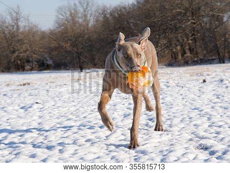 Weimaraner dog running with an orange ball on a snowy field