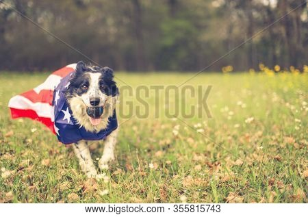 Running border collie dog playing ball outside wearing an american flag cape