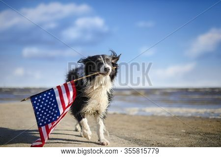 Patriotic border collie dog running along the beach carrying the American flag.