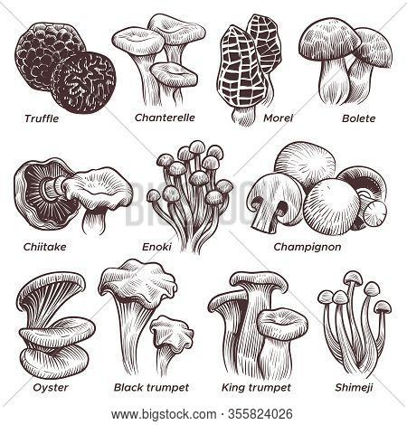Sketch Mushrooms. Hand Drawn Various Mushroom. Morel, Truffle And Champignon, Chanterelle And Oyster