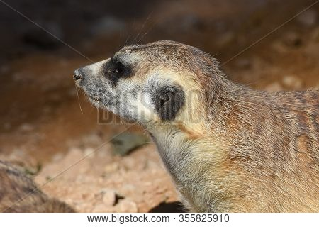 A Meerkat Profile Close Up  In The Desert (suricata Suricatta).