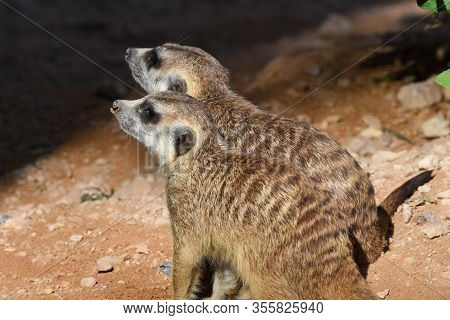 A Pair Of Meerkats Profile Close Up Looking For Food In The Desert (suricata Suricatta).