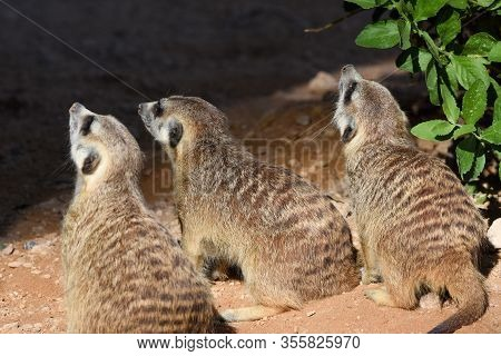 A Trio Of Meerkats Looking Forward Looking For Food In The Desert (suricata Suricatta).
