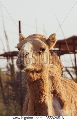 Close-up Of A Desert Dromedary Camel With Staring Expression In Middle East In The United Arab Emira