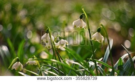 Spring Snowflake (leucojum Vernum) Beautiful White Spring Flower In Forest. Colorful Nature Backgrou