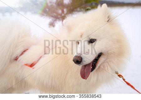 Parts Of The Face Of A Siberian Dog.happy Muzzle Siberian Husky. Close Up Husky Dog.the Dog.