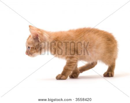 tomcat isolated on white background cat expressions emotions poster