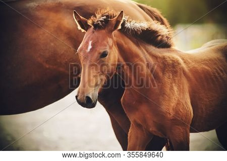 A Cute Colt With A Fluffy Mane, Illuminated By The Sun, Stands Timidly Near His Mother.