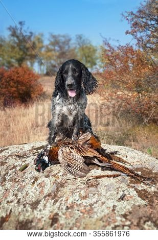 A Hunting Dog Of The Russian Spaniel Breed Sits On A Stone In Front Of Pheasant. Pheasant Hunting.
