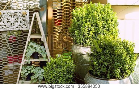 Composition With Green Boxwood And Clambering Plants In Pots Placed Next To Grid In Garden In Sunny