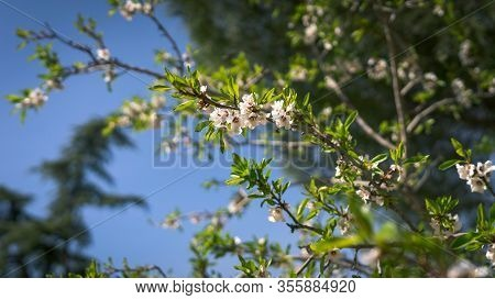 Almond Tree In Flower In Springtime Over The Blue Sky In The Park Of Quinta De Los Molinos, Madrid,