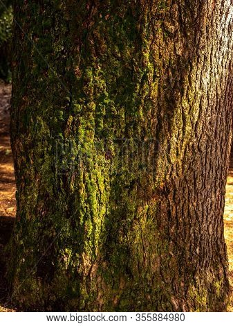 Tree Texture With Moss In The Park Of The Quinta De Los Molinos In Madrid, Spain Concept Of Nature.