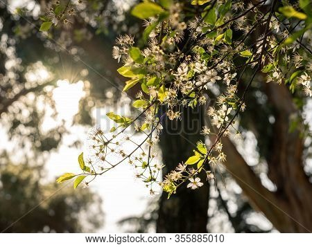 Small White Flowers Photographed Against The Light. Spring Background. Spring Concept.