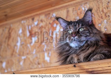 Portrait Whiskered Maine Coon Cat. Fluffy Big Cat With Long Tassels On The Ears. Copy Space.