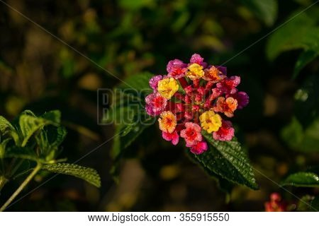 Lantana Hirta Multicolour Flower From Verbenaceae Family With Its Leaves 1
