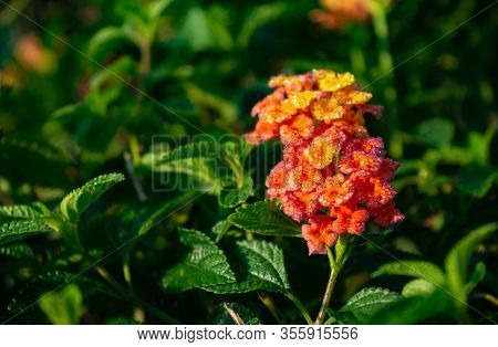 Lantana Hirta Multicolour Flower From Verbenaceae Family With Its Leaves 2