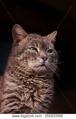 Cat Portrait Close Up. Gray Fluffy Cat With Yellow Eyes