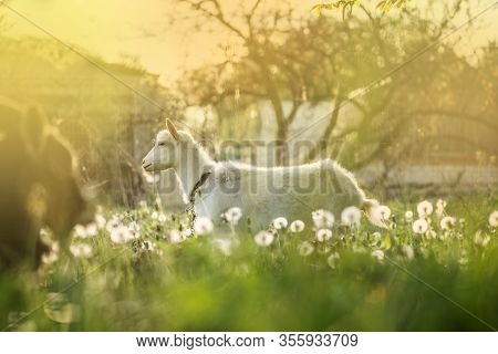 White Goat Going Through The Yard On A Sunny Day. Cute Animal Portrait